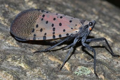 Spotted Lantern Fly 2